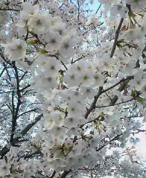 桜、満開〓