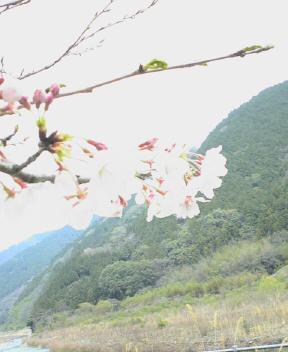 山之内の桜